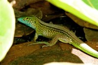 lizards, animals, and biodiversity in tayrona national park santa marta colombia.png